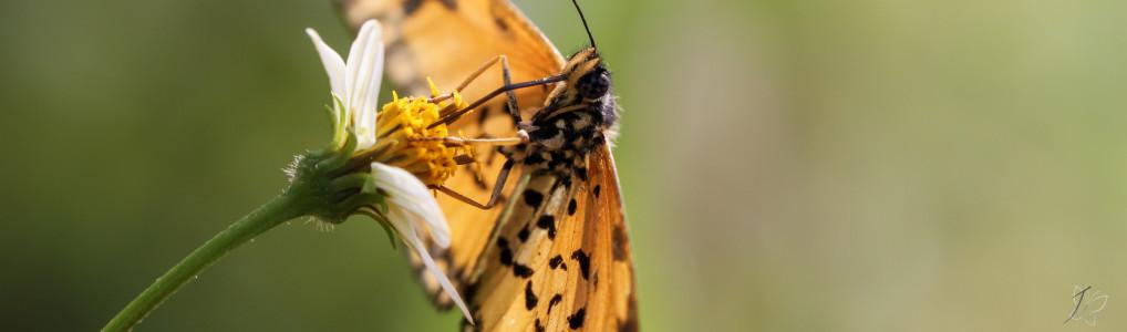 Afrotropičtí motýli