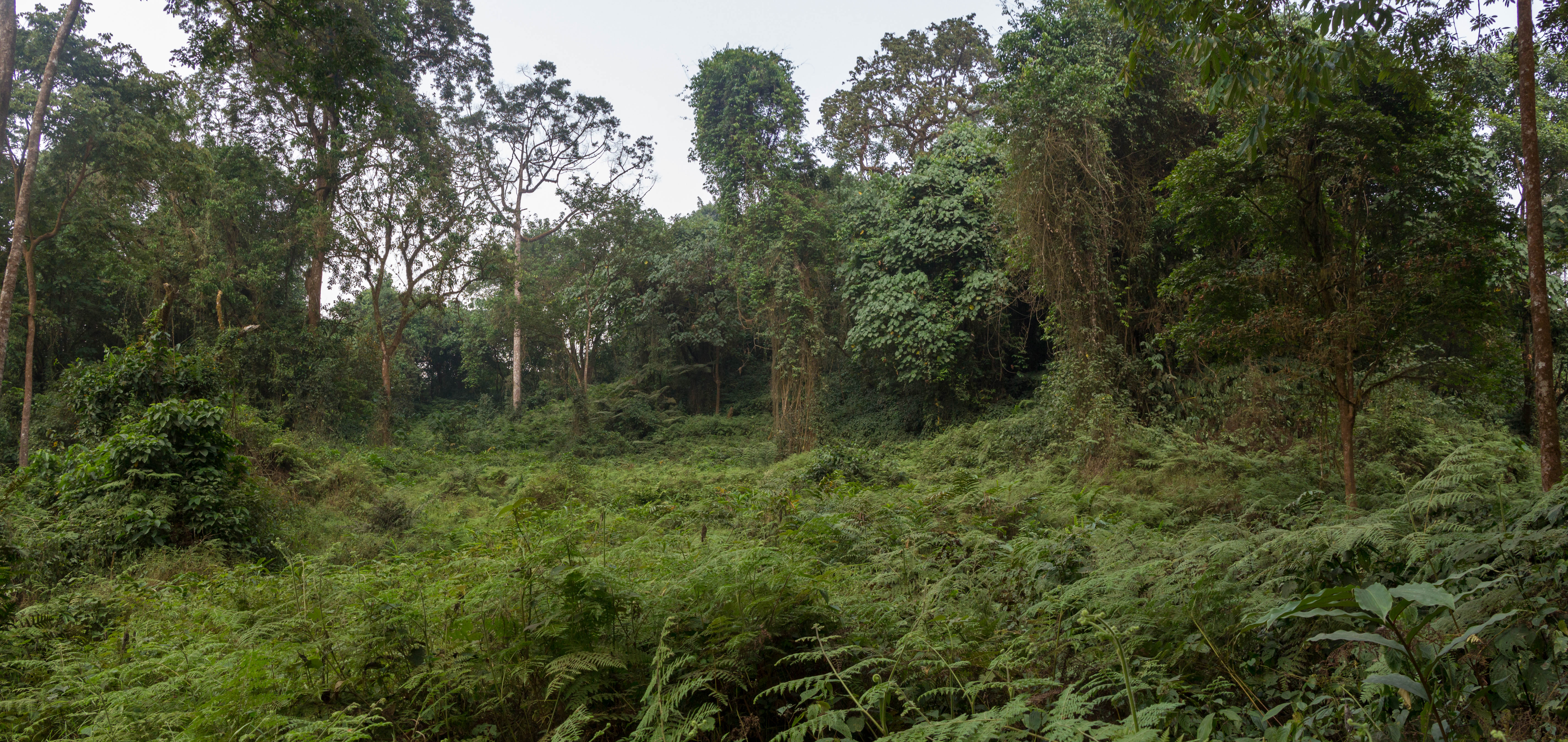 Influence of extensive natural disturbance by elephants on rainforests of Mt. Cameroon. Jan Mertens