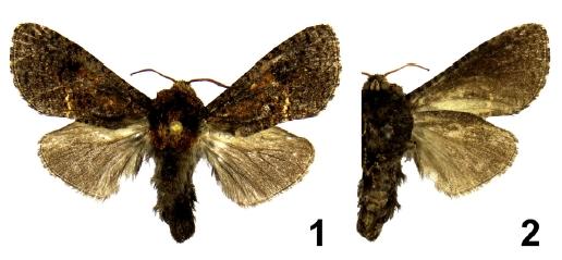 Geraldocossus