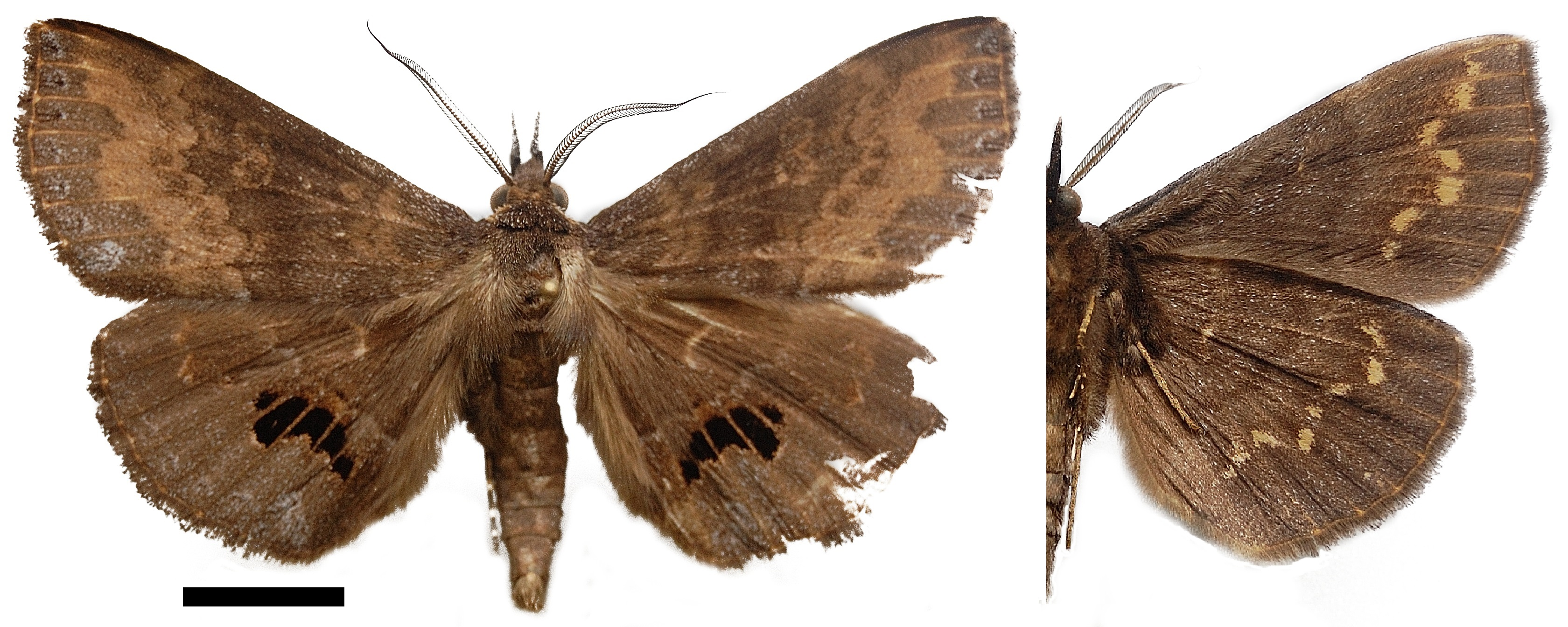 So far, Deinypena lathetica Holland, 1894 has been known from Gabon only.