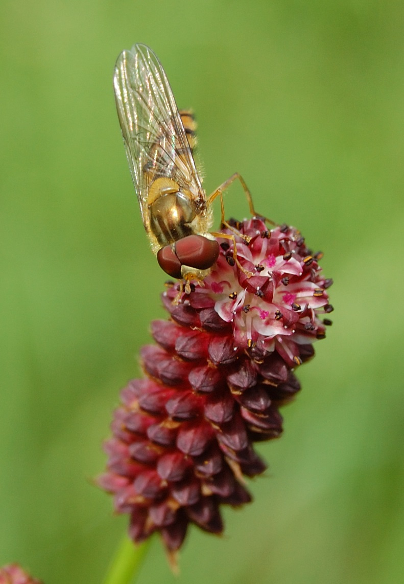A hoverfly feeding on Sanguisorba officinalis