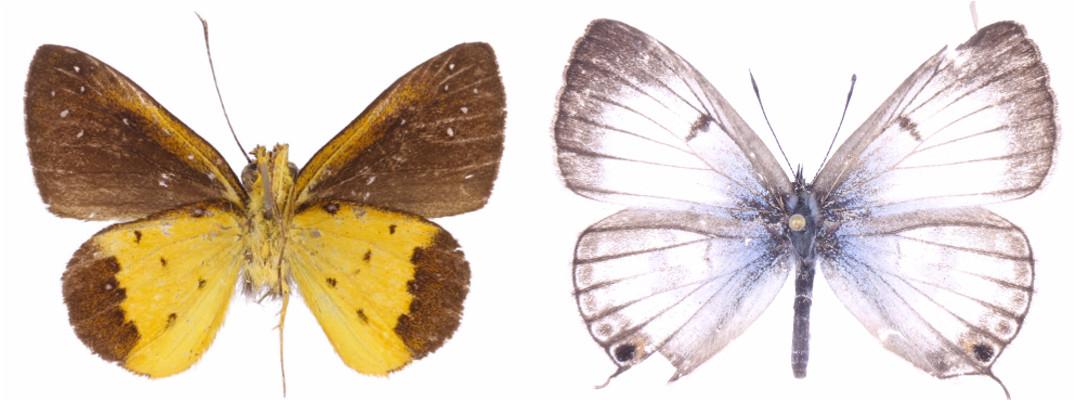 Holotypes of Ceratrichia fako (Sáfián & Tropek, 2016) and Lepidochrysops liberti (Sáfián & Tropek, 2016).