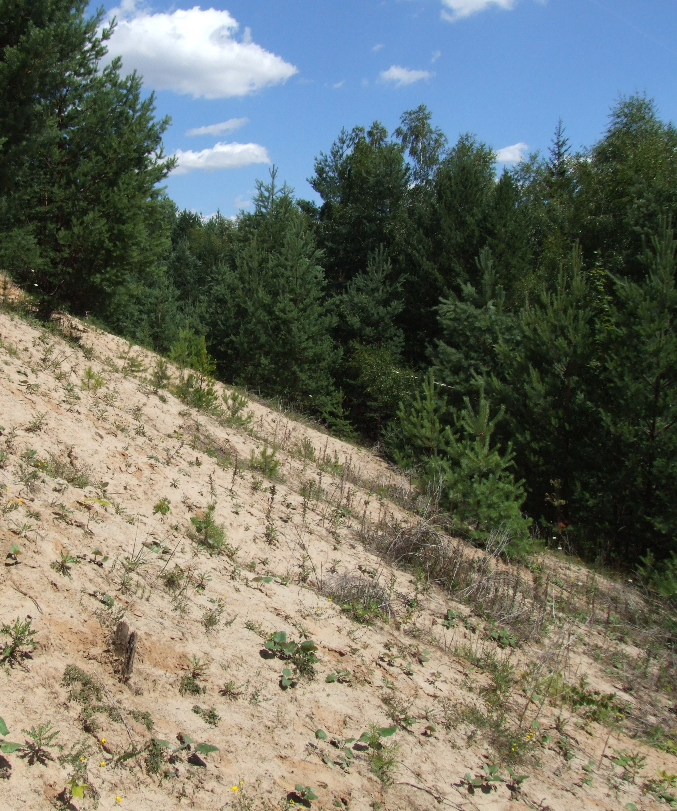 Slope of Roudny, a sandy heap after gold mining.
