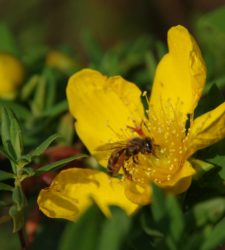 Honey bee on a flower of Hypericum revolutum. © Š. Janeček