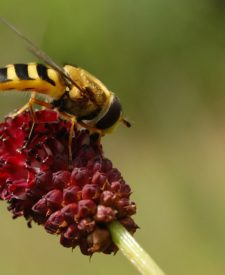 Pestřenka na květu krvavce totenu. © S. Delabye