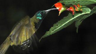 Strdimil kamerunský třepotá při sání z květu netýkavky Impatiens sakeriana. © Š. Janeček