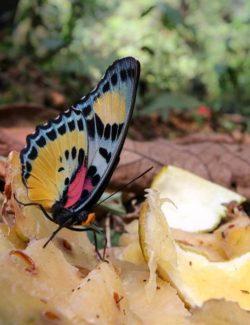 Euphaedra sp. Se krmí na zbytcích ovoce. © J. Mertens